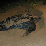 Sea Turtle in the sand at Kosi Bay mouth