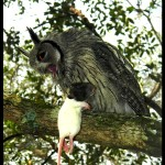 owl with a rat