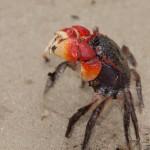 Mangrove_redclaw_crab_kosibay_southafrica