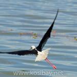 black-winged stilt male, ds227-2121x