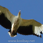 palm-nut vulture, ds227-1063x