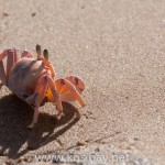 pinkcrab_sand_kosibay_southafrica