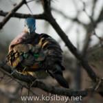 kosibay_emeraldspotteddove