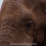 kosibay_tembe_elephant