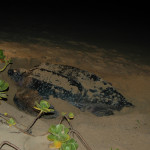 Leatherback Turtle on the beach at Kosi Bay